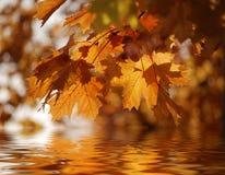 De bladeren van de esdoorn die in water worden weerspiegeld Royalty-vrije Stock Afbeeldingen