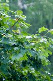 De bladeren van de esdoorn onder regen Royalty-vrije Stock Afbeeldingen