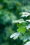 De bladeren van de esdoorn onder regen Royalty-vrije Stock Foto
