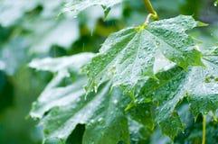 De bladeren van de esdoorn onder regen Royalty-vrije Stock Afbeelding