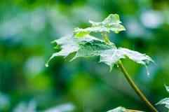 De bladeren van de esdoorn onder regen Stock Afbeelding