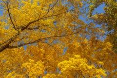 De bladeren van de esdoorn tegen de blauwe hemel Stock Foto