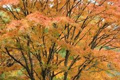 De bladeren van de esdoorn in tuin Royalty-vrije Stock Foto