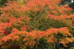 De bladeren van de esdoorn in tuin Royalty-vrije Stock Afbeeldingen