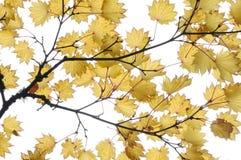 De bladeren van de esdoorn in tuin Stock Foto's