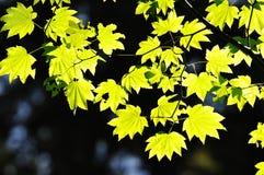 De bladeren van de esdoorn in tuin Stock Foto