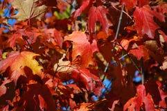De bladeren van de Esdoorn van de daling Stock Afbeeldingen