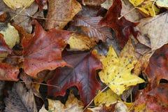 De Bladeren van de Esdoorn van de herfst Stock Foto