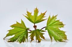 De bladeren van de esdoornboom Stock Foto
