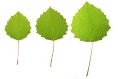 De bladeren van de esp Stock Fotografie