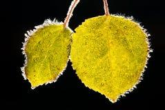 De bladeren van de esp die met vorst worden behandeld Royalty-vrije Stock Afbeelding