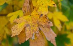 De bladeren van de gebiedsesdoorn in de herfst Stock Foto