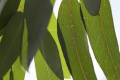 De Bladeren van de gom Stock Fotografie