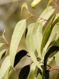De bladeren van de gom Stock Foto's
