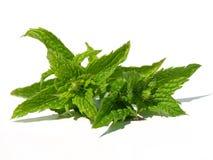 De bladeren van de groene munt Royalty-vrije Stock Afbeeldingen
