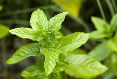 De Bladeren van de groene munt Stock Foto