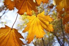 De bladeren van de herfst Royalty-vrije Stock Foto's