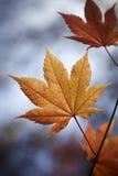 De Bladeren van de herfst Stock Foto's