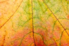 De bladeren van de herfst, close-up Stock Afbeelding