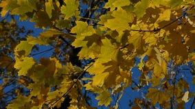 De bladeren van de herfst in de wind stock videobeelden