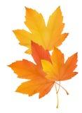De bladeren van de herfst die op witte achtergrond worden geïsoleerde Stock Foto