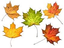 De bladeren van de herfst die op witte achtergrond worden geïsoleerdd Royalty-vrije Stock Afbeeldingen