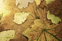 De bladeren van de herfst in het ochtendlicht Stock Foto