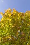 De bladeren van de herfst met de blauwe hemelachtergrond Stock Foto