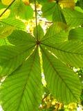 De bladeren van de herfst van een kastanje Stock Fotografie
