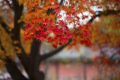 De Bladeren van de herfst van Japanse Esdoorn stock afbeelding