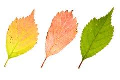 De bladeren van de herfstsakura Stock Fotografie