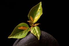 De bladeren van de hibiscus Stock Foto's