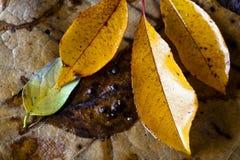 De bladeren van de hickory stock afbeeldingen