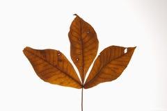 De bladeren van de hickory op wit stock afbeelding