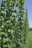 De bladeren van de hop in aanplanting #2, baden Stock Afbeeldingen