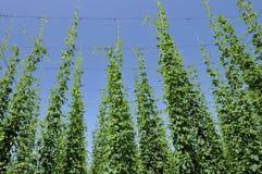 De bladeren van de hop in aanplanting #3, baden Stock Afbeeldingen