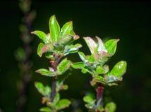 De bladeren van de jonge Apple-bomen bij nacht Stock Afbeeldingen