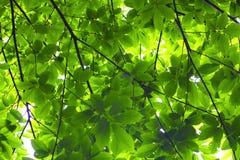De bladeren van de kastanje Stock Afbeelding