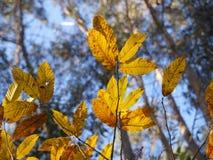 De bladeren van de kastanje Stock Fotografie