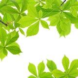 De bladeren van de kastanje stock afbeeldingen