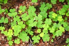 De bladeren van de klaver Stock Foto