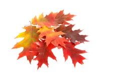 De bladeren van de kleurrijke herfst. Stock Foto