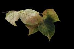 De bladeren van de klimop Royalty-vrije Stock Fotografie