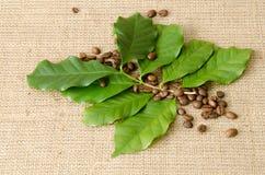 De bladeren van de koffieboom en koffiebonen Stock Foto