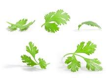 De bladeren van de koriander Stock Afbeeldingen
