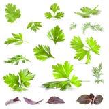 De bladeren van de koriander, van de peterselie, van de dille en van het basilicum Stock Afbeeldingen