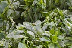 De bladeren van de kruidmunt Royalty-vrije Stock Afbeelding