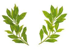 De bladeren van de laurier stock illustratie