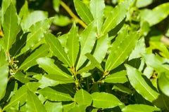 De bladeren van de laurierboom, aromatisch kruid royalty-vrije stock foto