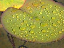 De bladeren van de lelie Stock Foto's